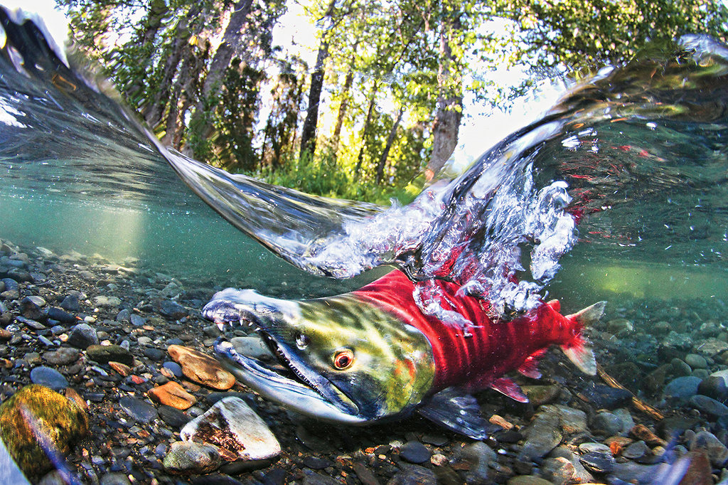 salmon-spawning-slide-BS10-jumbo