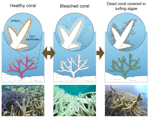 What-is-coral-beaching_with-photos_v1-02.jpg