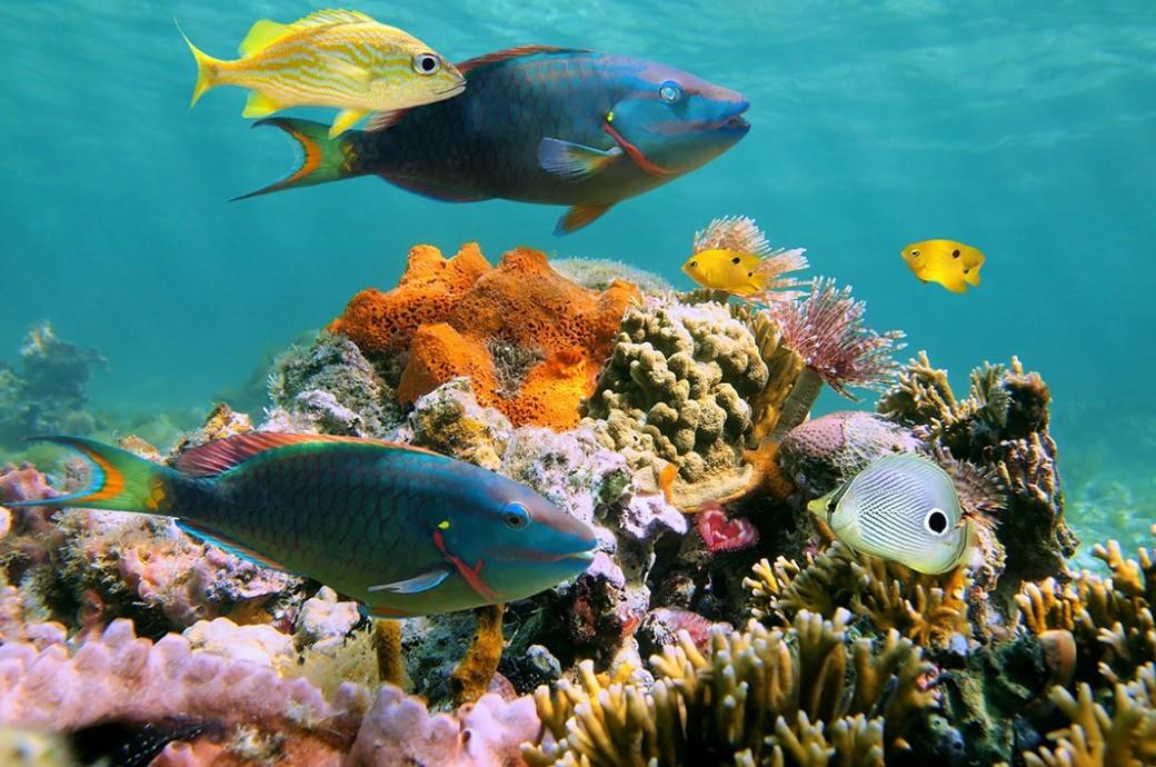 parrotfish-caribb_vilainecrevette-shutterstock_1066.jpg